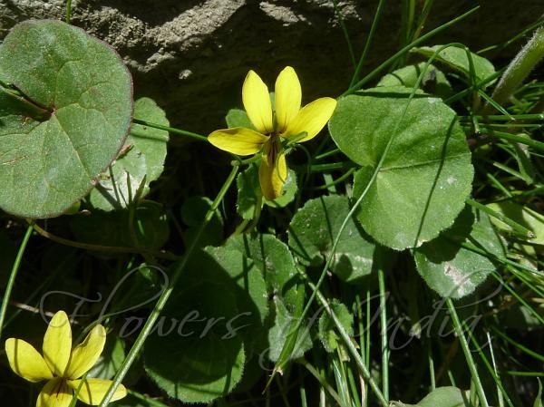 Viola biflora yellow wood violet yellow wood violet mightylinksfo