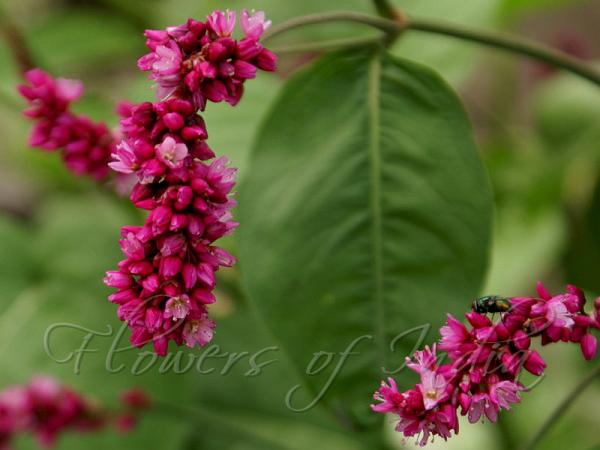 Persicaria Orientalis Kiss Me Over The Garden Gate