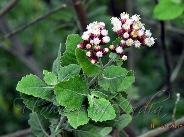 Pluchea tomentosa - Woolly Camphor-Weed